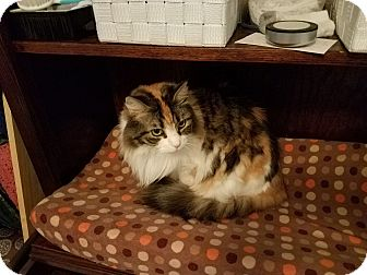 Domestic Longhair Cat for adoption in Greenville, South Carolina - Ferryn