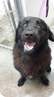Newfoundland Mix Dog for adoption in Paducah, Kentucky - Oso