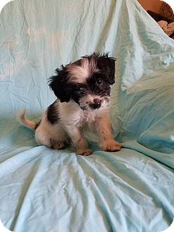Maltese/Shih Tzu Mix Puppy for adoption in Hagerstown, Maryland - Colt (has been adopted)