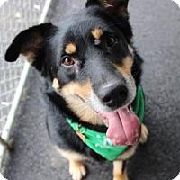 Adopt A Pet :: Sasha - Cuyahoga Falls, OH