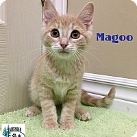 Adopt A Pet :: Magoo - Cuddler! - Huntsville, ON