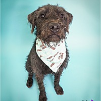 Adopt A Pet :: Grizzly - Phoenix, AZ