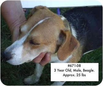 Beagle Dog for adoption in Zanesville, Ohio - I.D. # 671-08 - RESCUED!
