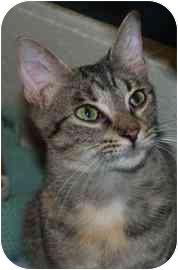 Domestic Shorthair Cat for adoption in Walker, Michigan - Alana