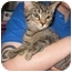 Photo 1 - Domestic Shorthair Kitten for adoption in Randolph, New Jersey - Scooby Do