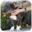 Photo 2 - Schnauzer (Standard) Mix Puppy for adoption in Berkeley, California - Hammie