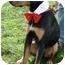 Photo 3 - Doberman Pinscher/Rottweiler Mix Dog for adoption in Sacramento, California - Trooper loving