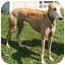 Photo 1 - Greyhound Dog for adoption in Fremont, Ohio - Red