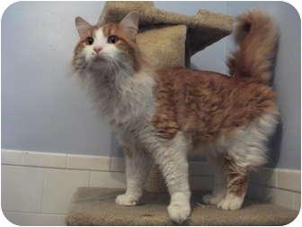 Domestic Longhair Cat for adoption in Edwardsville, Illinois - Yadi