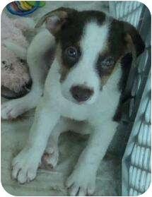 Australian Shepherd/Labrador Retriever Mix Puppy for adoption in Phoenix, Arizona - Asparagus - veggie tail pup