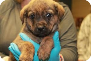 Australian Shepherd/Beagle Mix Puppy for adoption in Chicago, Illinois - Tyler*ADOPTED!*