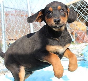 Black and Tan Coonhound/Australian Shepherd Mix Puppy for adoption in Brattleboro, Vermont - Cornbread
