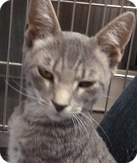 Domestic Shorthair Kitten for adoption in St. Petersburg, Florida - Sugar Plum