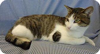 Domestic Shorthair Cat for adoption in Larned, Kansas - Lucky