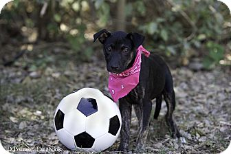 Labrador Retriever Mix Puppy for adoption in Olympia, Washington - Jasmine