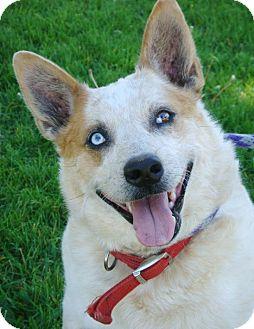 Australian Cattle Dog/Blue Heeler Mix Dog for adoption in Red Bluff, California - DALLY