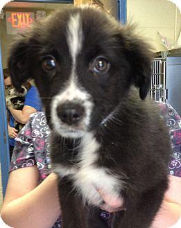 Australian Shepherd/Border Collie Mix Puppy for adoption in Fairview Heights, Illinois - Sydney