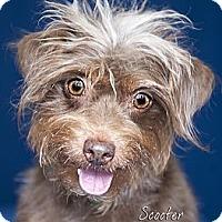 Adopt A Pet :: Scooter - Rancho Mirage, CA