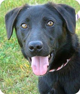 Labrador Retriever/Beagle Mix Dog for adoption in Sunnyvale, California - Jersey