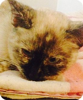 Siamese Cat for adoption in Huntley, Illinois - Moonlight