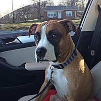 Adopt A Pet :: Karma - Westminster, MD