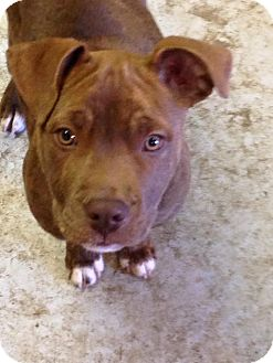 American Pit Bull Terrier/Hound (Unknown Type) Mix Puppy for adoption in Lebanon, Tennessee - Jasper