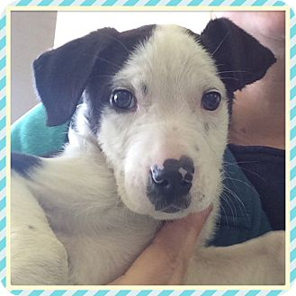 Labrador Retriever/Boxer Mix Puppy for adoption in Rochester, New Hampshire - PETER