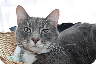 Domestic Shorthair Cat for adoption in Orillia, Ontario - Woody