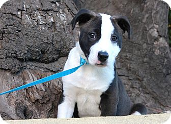 Labrador Retriever/Pit Bull Terrier Mix Puppy for adoption in Los Angeles, California - Abby
