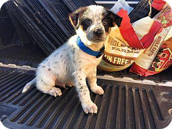 Australian Shepherd Mix Puppy for adoption in Granbury, Texas - Calvin