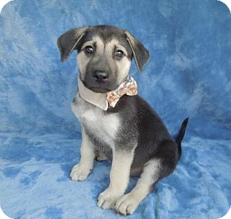 German Shepherd Dog/Labrador Retriever Mix Puppy for adoption in Charlotte, North Carolina - Dash