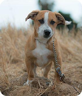 Harrier/Foxhound Mix Puppy for adoption in Poway, California - ASPEN