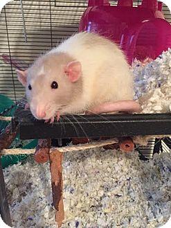 Rat for adoption in Philadelphia, Pennsylvania - CREAMSICLE