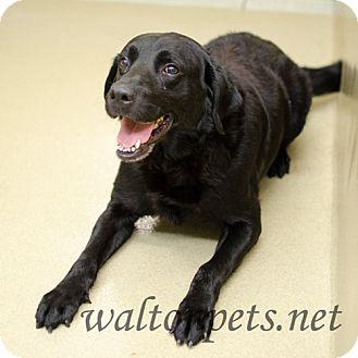 Labrador Retriever Mix Dog for adoption in Monroe, Georgia - Gabe