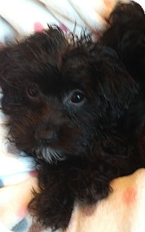 Yorkie, Yorkshire Terrier/Poodle (Toy or Tea Cup) Mix Puppy for adoption in Carlsbad, California - EMILY