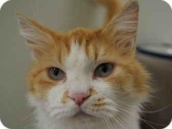 Domestic Mediumhair Cat for adoption in Libby, Montana - Chester