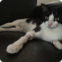 Domestic Shorthair Cat for adoption in Tampa, Florida - Rosaline