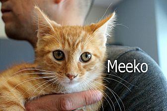 Domestic Shorthair Kitten for adoption in Wichita Falls, Texas - Meeko
