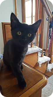 Domestic Shorthair Kitten for adoption in Plainville, Massachusetts - Nina 2