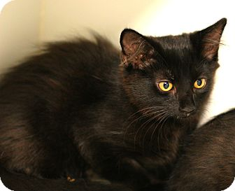 Domestic Longhair Kitten for adoption in Staunton, Virginia - Shy