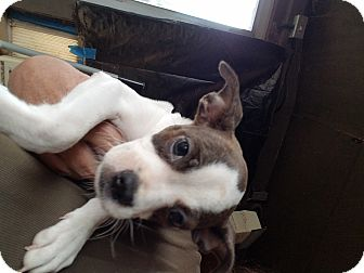 Boston Terrier/Italian Greyhound Mix Puppy for adoption in Weatherford, Texas - Susan