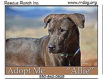 Labrador Retriever/Bull Terrier Mix Dog for adoption in Yreka, California - Allie