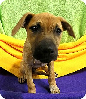 Terrier (Unknown Type, Medium) Mix Puppy for adoption in Detroit, Michigan - Nutmeg-Adopted!