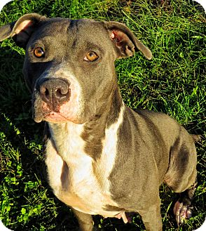 Pit Bull Terrier Mix Dog for adoption in West Babylon, New York - Leandra
