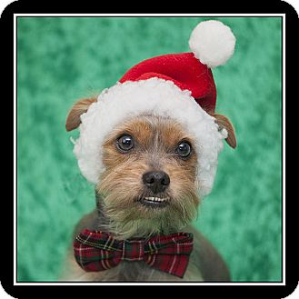 Yorkie, Yorkshire Terrier Dog for adoption in San Diego, California - Buster Brown