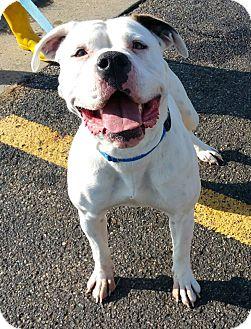 American Bulldog Mix Dog for adoption in Lisbon, Ohio - Georgia