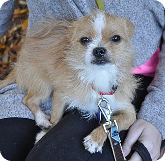 Terrier (Unknown Type, Small)/Chihuahua Mix Dog for adoption in Atlanta, Georgia - Rudy