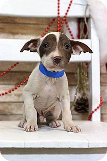 Boxer Mix Puppy for adoption in Waldorf, Maryland - Ignacio
