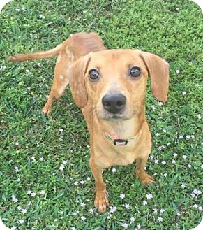 Dachshund/Terrier (Unknown Type, Small) Mix Dog for adoption in Boca Raton, Florida - Cupid