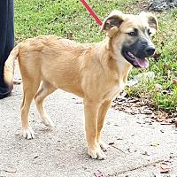 Golden Retriever/Black Mouth Cur Mix Puppy for adoption in Houston, Texas - Winnie